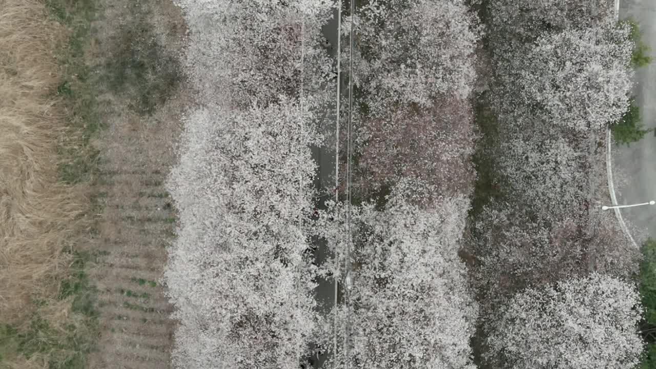 조천변 벚꽃축제 현장스케치
