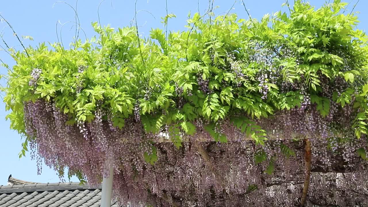부강성당 등나무꽃 영상
