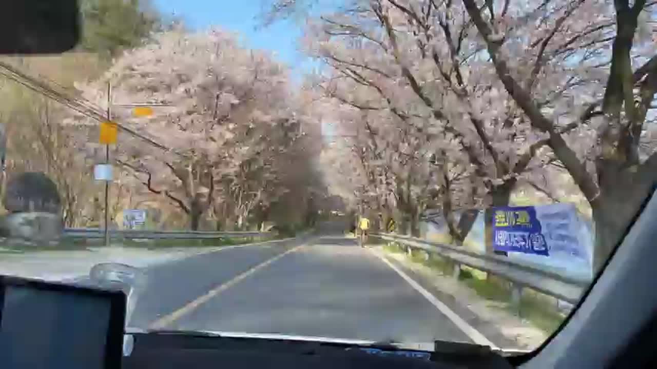 금남면 용호리 벚꽃